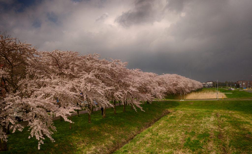 Kersenbloesem/Cherry Blossom, april 2018